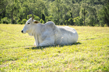 A cow in the paddock during the day in Queensland