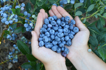 blueberries in hends