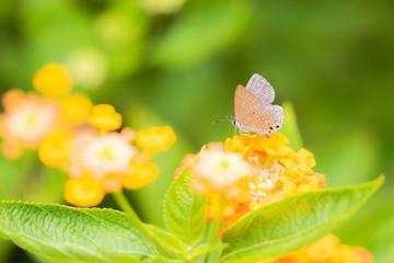 ランタナの花にとまるシジミチョウ