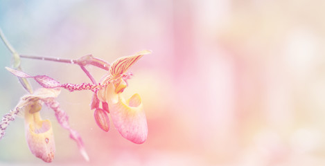 Lady slipper orchid background