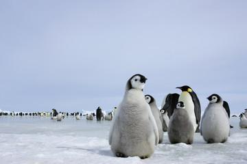 Photo sur Aluminium Antarctique Kaiserpinguinküken