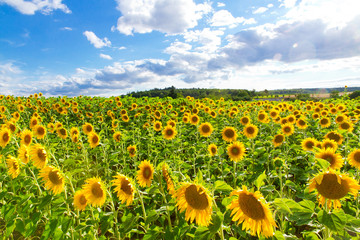Wall Mural - Big sunflower field in summer