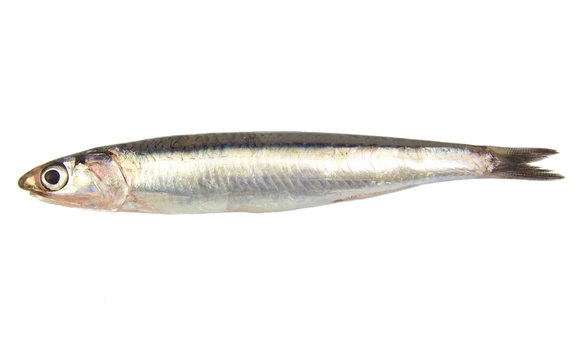 Whole single fresh raw european anchovy isolated on a white
