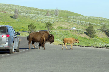 American Bison mother and calf stop traffic in Yellowstone National Park