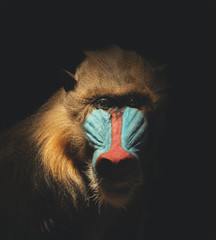 Wild Mandrill Isolated in the Darkness