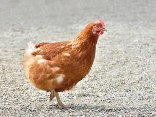 Chicken (Gallus gallus domesticus)