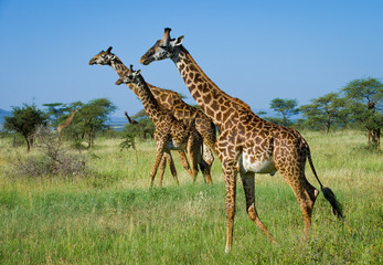 Giraffes On african savannah,