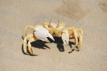 Sand crab in the beach of Socotra island, Yemen