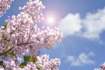 View on the pink flowers of the lilac - with space for text or other ideas