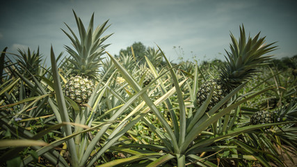 Pineapple farm in vintage color style