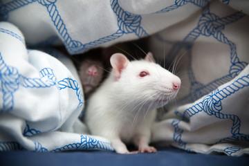 Fotoväggar - Two pet rats closeup photo
