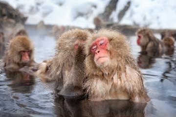 Eine Gruppe Makaken baden in einer heißen Quelle in Japan