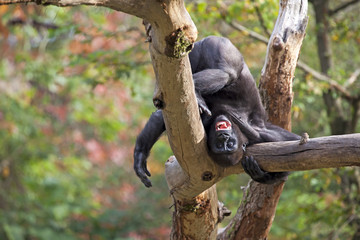 A young gorilla standing on his head in a tree