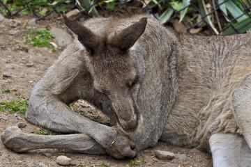 Resting Kanga