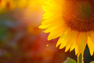 In de dag Zonnebloem sunflower