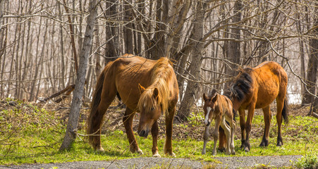 Two horses and foal are grazed in wood