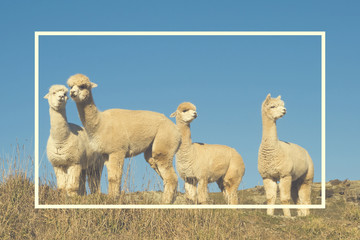Alpaca Lama Shaggy Field Mountain Animals Concept