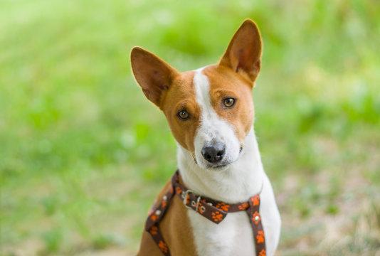 Outdoor portrait of gorgeous basenji dog
