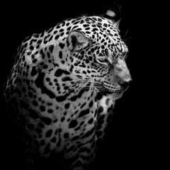 close up Jaguar Portrait