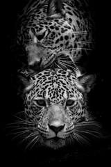 close up Jaguar Portrait