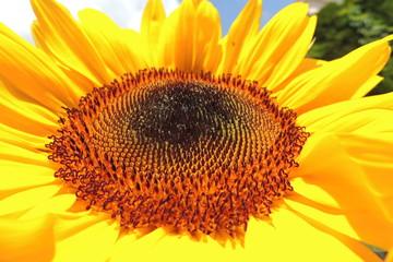 Sonnenblume Nahaufnahme,