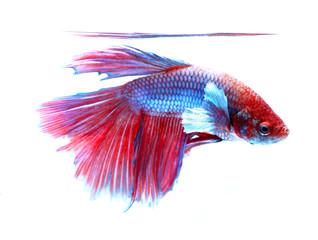 siamese fighting fish , betta on white background.