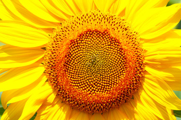 Sunflower closeup.