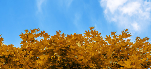 Yellow maple leaves on background of blue sky and clouds