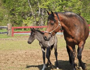 Mare Horse and Her Colt Paso Fino