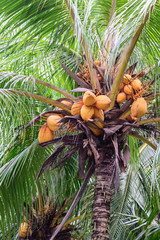 Close up of bunch yellow coconut on tree.