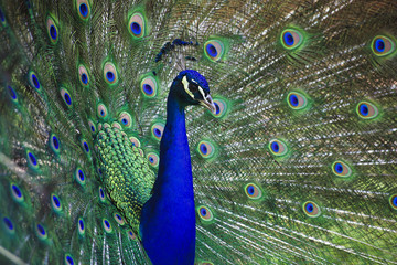 Peacock Closeup with Feathers Open