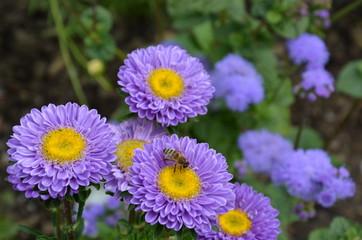 Biene auf lila Sommeraster