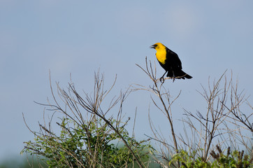 Yellow-Headed Blackbird Perched on a Bush