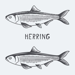 herring vector illustration