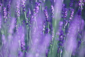 Lavender Field in Soft Focus