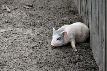Little piglet/Little funny piglet having a rest on a farm