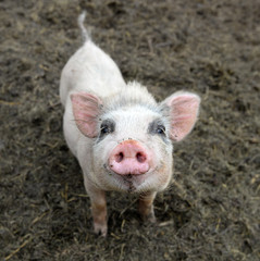 Little piglet/Portrait of little funny piglet on a farm