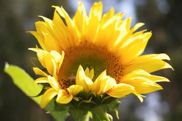 Farbenpracht im Sonnenblumenfeld