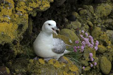 Pétrel fulmar, adulte, nid, Fulmarus glacialis, plante, Ameria maritima,Armérie maritime