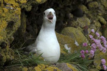 fulmar boreal, Pétrel fulmar, Fulmarus glacialis, Ameria maritima; Armérie maritime