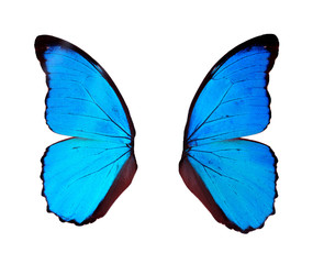 Blue wings butterfly isolated on white background..