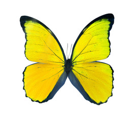 Morpho butterfly (Morpho didius), a yellow butterfly from South