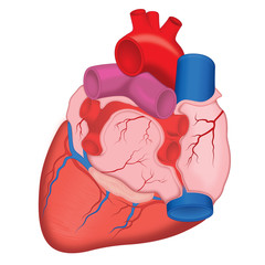Human Heart, anterior view