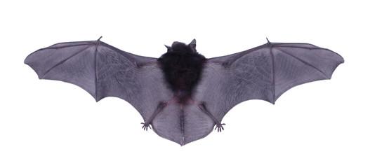 Little black Bat isolated on white background.