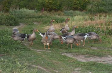 Geese ducks run across poultry yard a peaceful early summer night . Countryside scene with geese photo