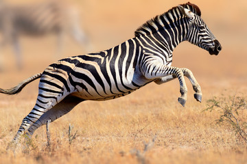 Fotobehang Zebra Zebra running and jumping