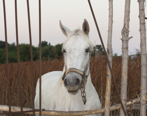 White horse's animal photo portrait.