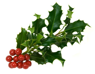 Holly and Berries – A clipping of green holly leaves and red berries. Isolated on white background.