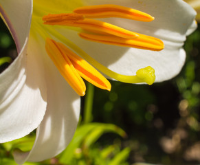 White lily beauty