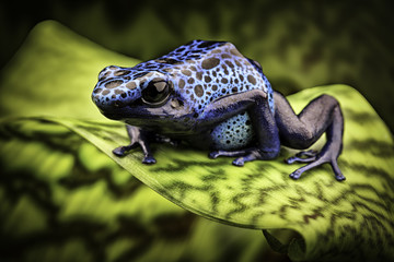 blue poison dart frog amazon rain forest